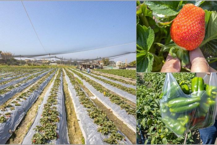 台中霧峰,璧冬草莓園~不止採草莓!還有青椒可以採。
