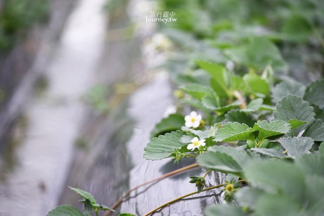 岐阜,羽島,奥田農園,採草莓,體驗,美人姬