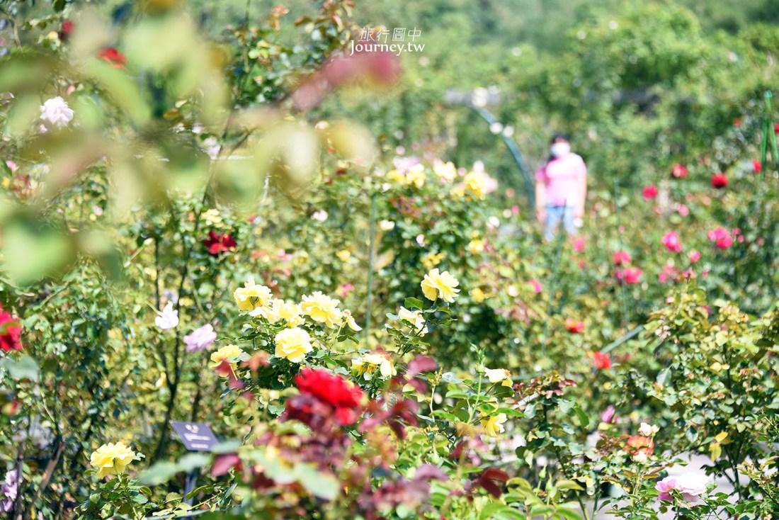 苗栗,苗栗景點,苗栗一日遊,頭屋,頭屋景點,頭屋一日遊,雅聞七里香玫瑰森林,玫瑰花