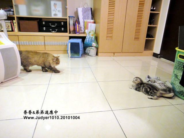 貓咪札記:香香&弟弟適應中之近距離接觸!
