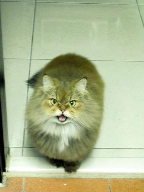 貓咪札記:跟香香在家跨年^^