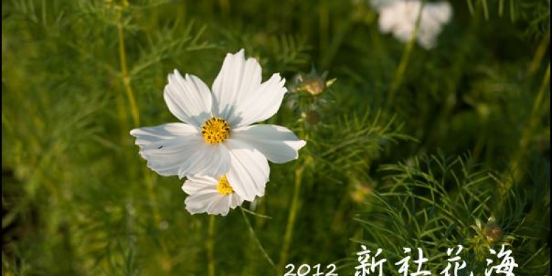 [隨手拍] 2012 新社花海