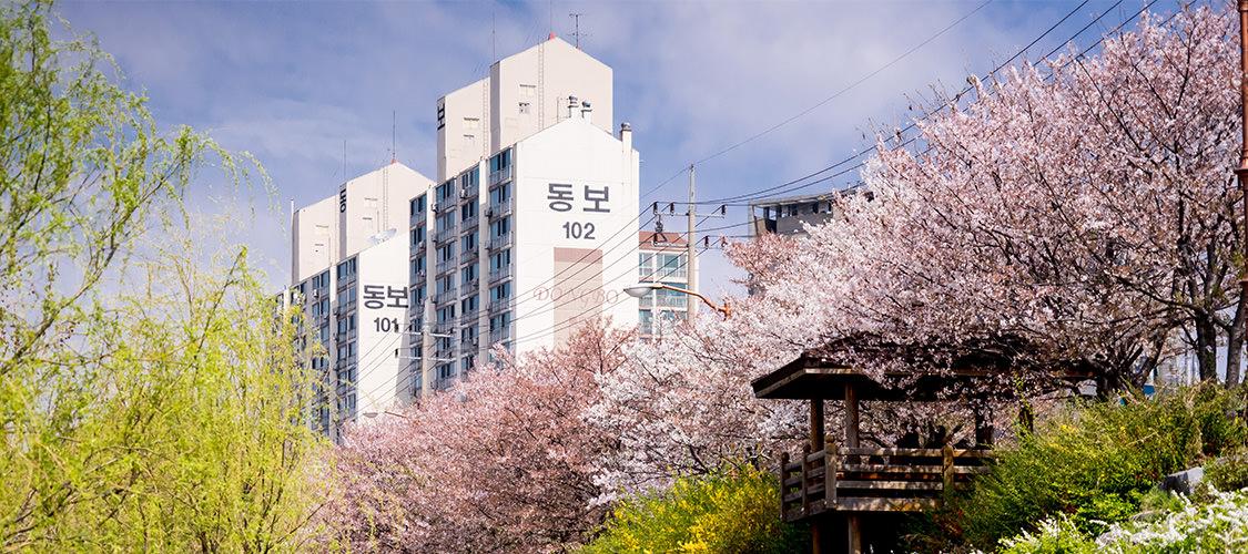 首爾櫻花-安養川