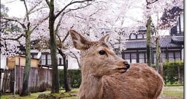 奈良賞櫻鹿伴散策》奈良公園、春日大社。準備好鹿仙貝與櫻花樹下的鹿們一起玩耍了嗎?散步奈良,下著雨也好有詩意