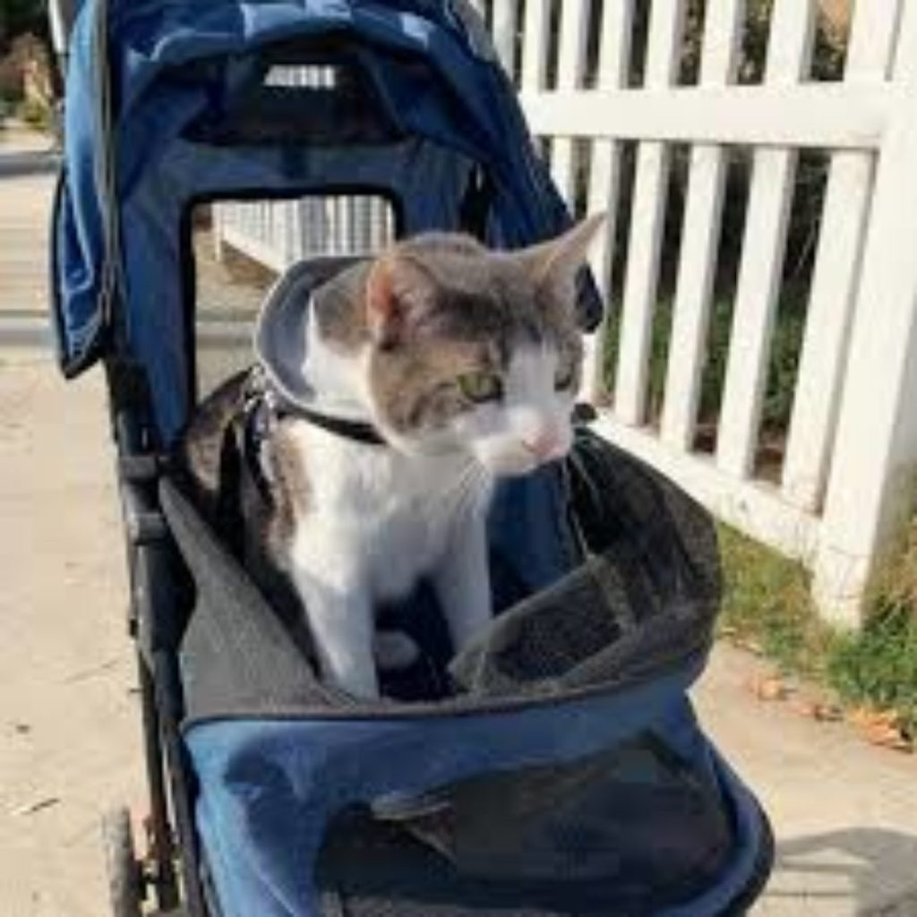 tabby-patch cat looks out from blue stroller in which he's secured?
