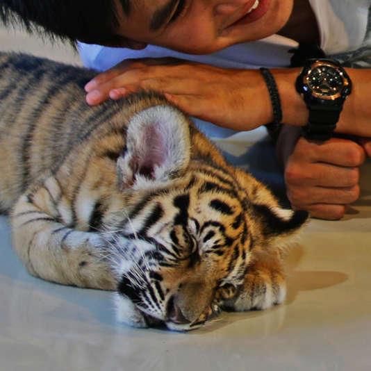 Les bébés tigres sont arrachés à leur mère pour être pris en photo.