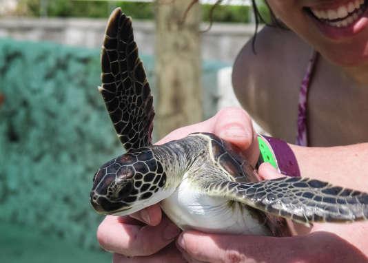 Dans les îles Caïmans, les touristes peuvent tenir des tortues de mer dans leurs mains.