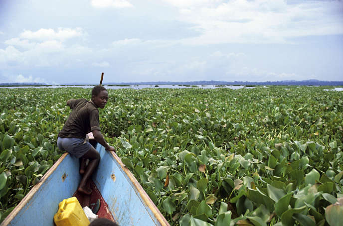 Water hyacinths colonizing Lake Victoria, Uganda.