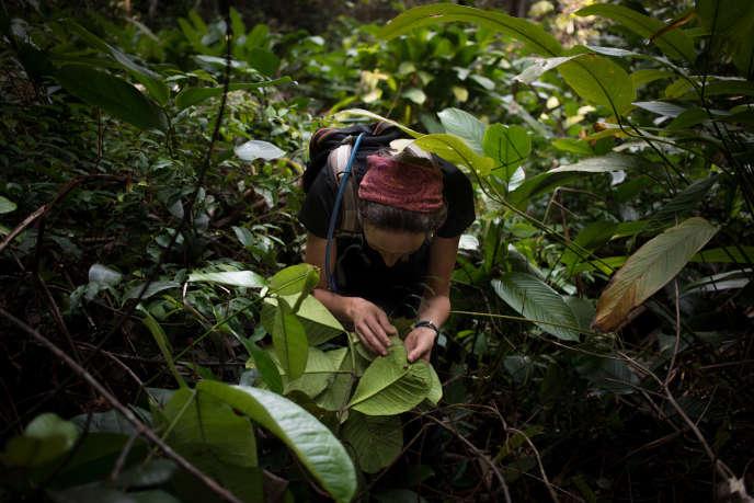 Une chercheuse de l'expédition observe les feuilles sous une liane toxique « Strophanthus gratus», hypothétique plante hôte du papillon «Papilio antimachus», près de Mogoumba, le 5décembre.