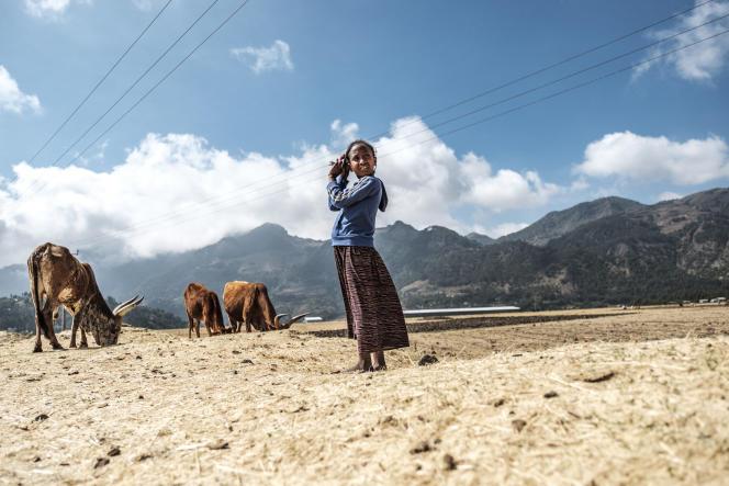 Une jeune fille garde un troupeau de vaches à Korem, dans la région du Tigré, le 12décembre 2020.