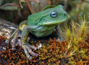 La nouvelle espèce de grenouille découverte dans un parc naturel de l'Amazonie péruvienne.