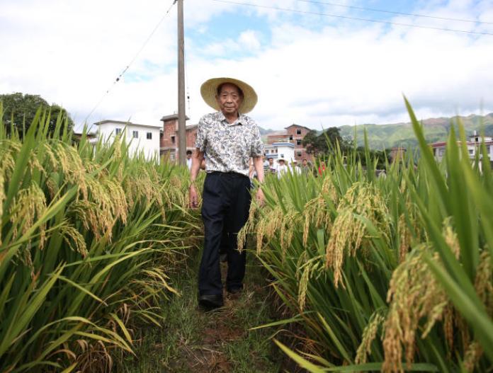L'agronome Yuan Longping visite un champ de riz super hybride au village de Liande, le 5 août 2017, dans le comté de Guanyang, ville de Guilin, région autonome du Guangxi Zhuang, en Chine.