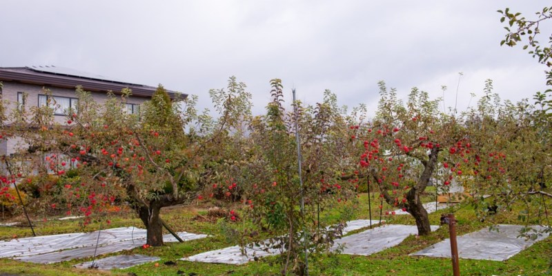 日本景點推薦》青森蘋果園 - 好吃多汁