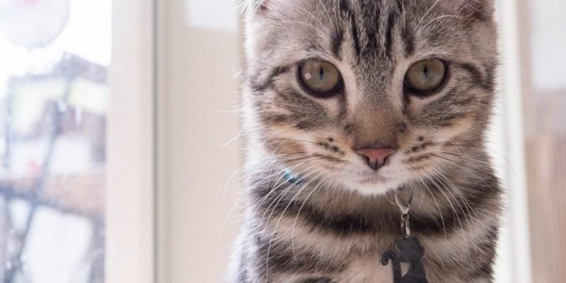 龜山》MAOYE貓爺 - 貓餐廳,貓Brunch