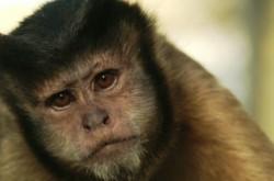 猿は人のように不合理 経済的なリスク管理の難しさが、猿を対象にした実験で明白に