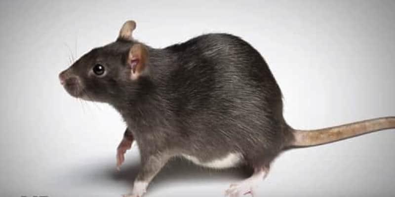 ネズミ 3