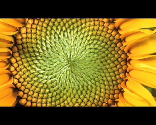 花びらの枚数は数学で決まっていた? 多くの植物に潜む「フィボナッチ数列」の不思議