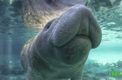 人魚のモデルと言われる「マナティ」の知られざる生態