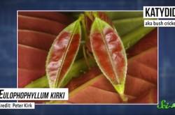 葉っぱのようなキリギリスから、不思議な色のトマトまで 最近新たに見つかった新種たち