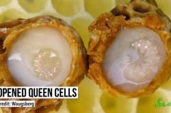 女王蜂と働き蜂を分けるのは食べ物の違い?
