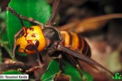 イチジクに侵入、ゴキブリを洗脳… 生きるためにはなんでもする、奇妙な蜂たちの習性