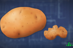 ジャガイモがまるでショウガに? 不思議な病原体「ウイロイド」の正体