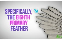 羽音で意思の疎通をはかるハトがいるらしい