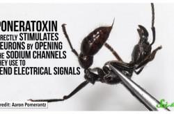 虫に刺された痛みをランク付け ヒアリやスズメバチをはるかに超える最強の虫は?