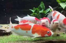 新潟をコイの特区に––クールジャパン政策で、錦鯉養殖に熱視線が注がれるワケ