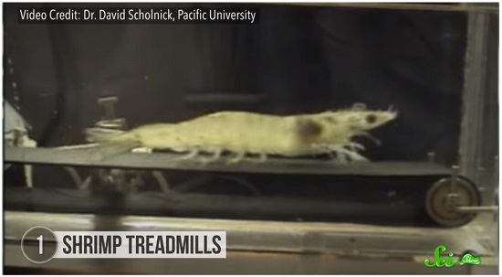 Shrimp treadmills 01