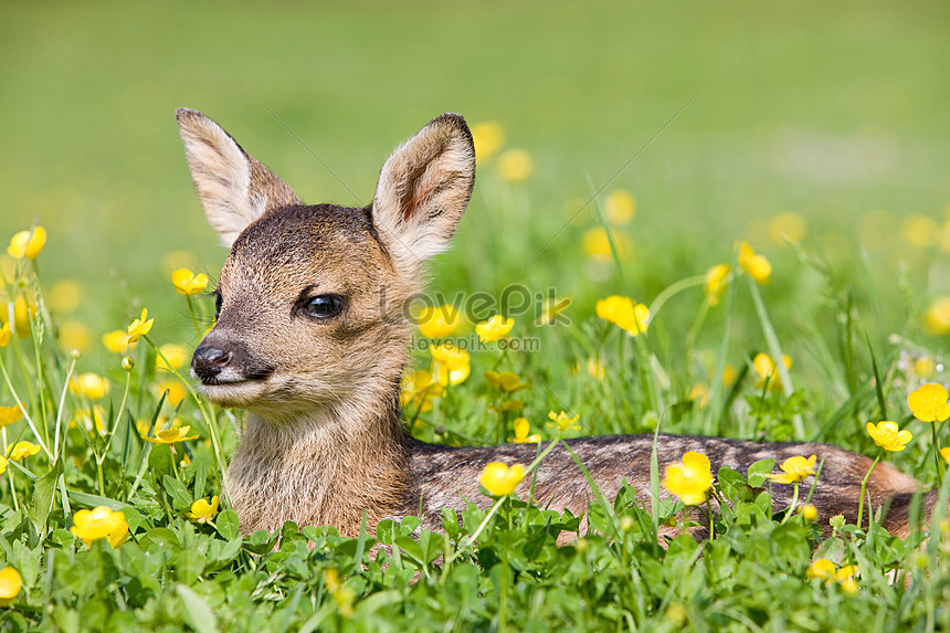 Cute Baby Deer Sitting On The Grass Photo Image Picture Free Download 501464631 Lovepik Com
