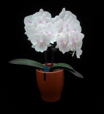 蝴蝶蘭年銷破200萬盆 美麗要持久注意2件事 - 生活 - 自由時報電子報