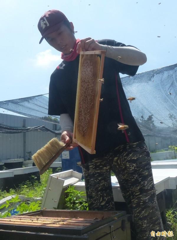 金門蜂農翁慶佑拿起巢框時,上面的蜜蜂立刻群起飛舞。(記者吳正庭攝)