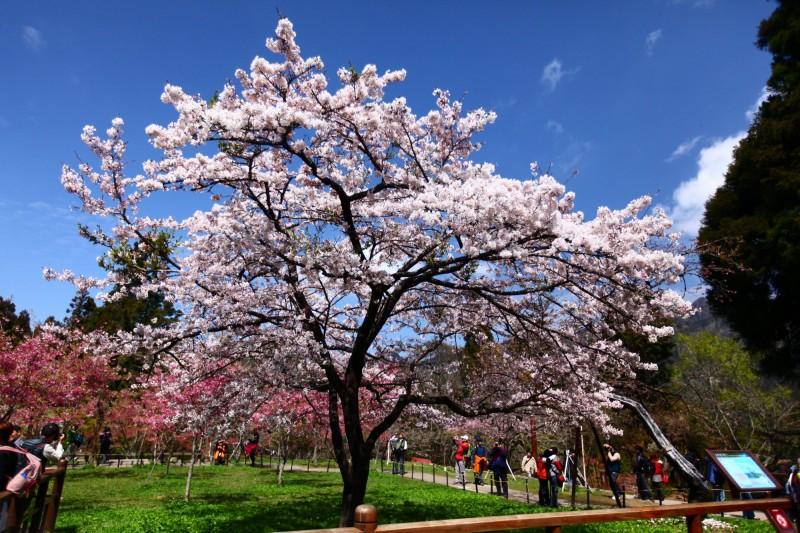 阿里山花季3/9登場至4/10 期間週末假日4項管制措施 - 生活 - 自由時報電子報