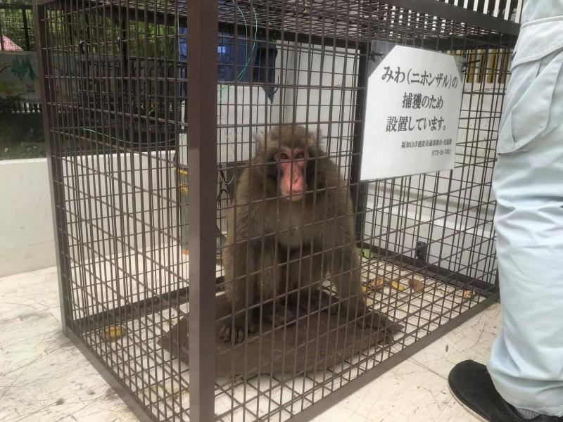 京都「野豬騎士」獼猴逃脫10天 被抓後狀似「反省」 - 國際 - 自由時報電子報