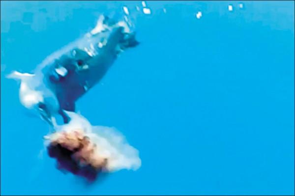 《中英對照讀新聞》Study: Penguins choose to eat jellyfish despite lack of nutrition-研究:儘管沒營養,企鵝仍會吃水母 ...