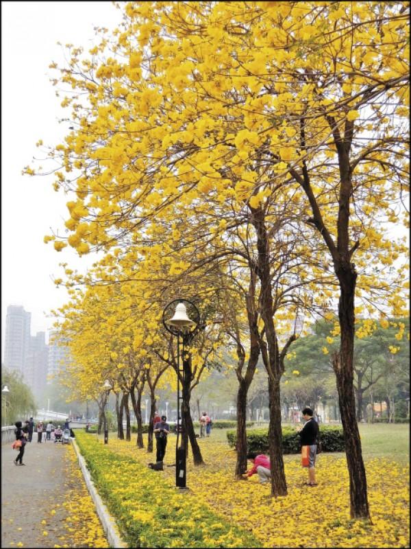 【春尋黃花風鈴木】高雄‧河堤公園 - 生活週報 - 自由時報電子報