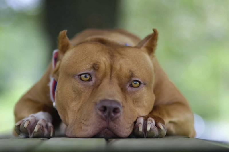 美國比特犬咬人頻傳 受害者要求全面禁養 - 國際 - 自由時報電子報
