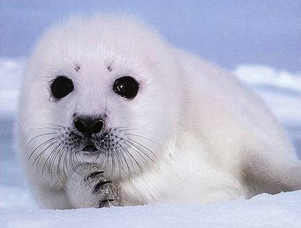 Cute Baby Seals Wallpapers החיות הכי חמודות בעולם