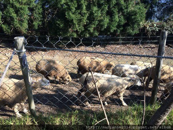 南投旅遊景點 清境農場的綿羊秀