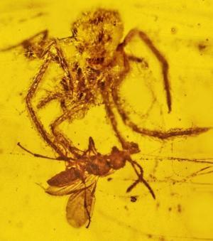 L'araignée a été piégée dans l'ambre alors qu'elle s'attaquait à une guèpe (Crédits : Oregon State University)