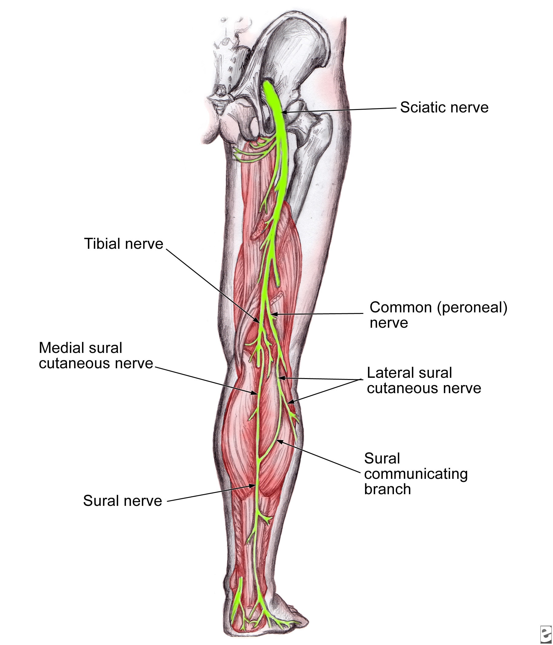 foot nerve endings diagram 5 pin boat trailer wiring humannervesspinalfoot ahuman wiki