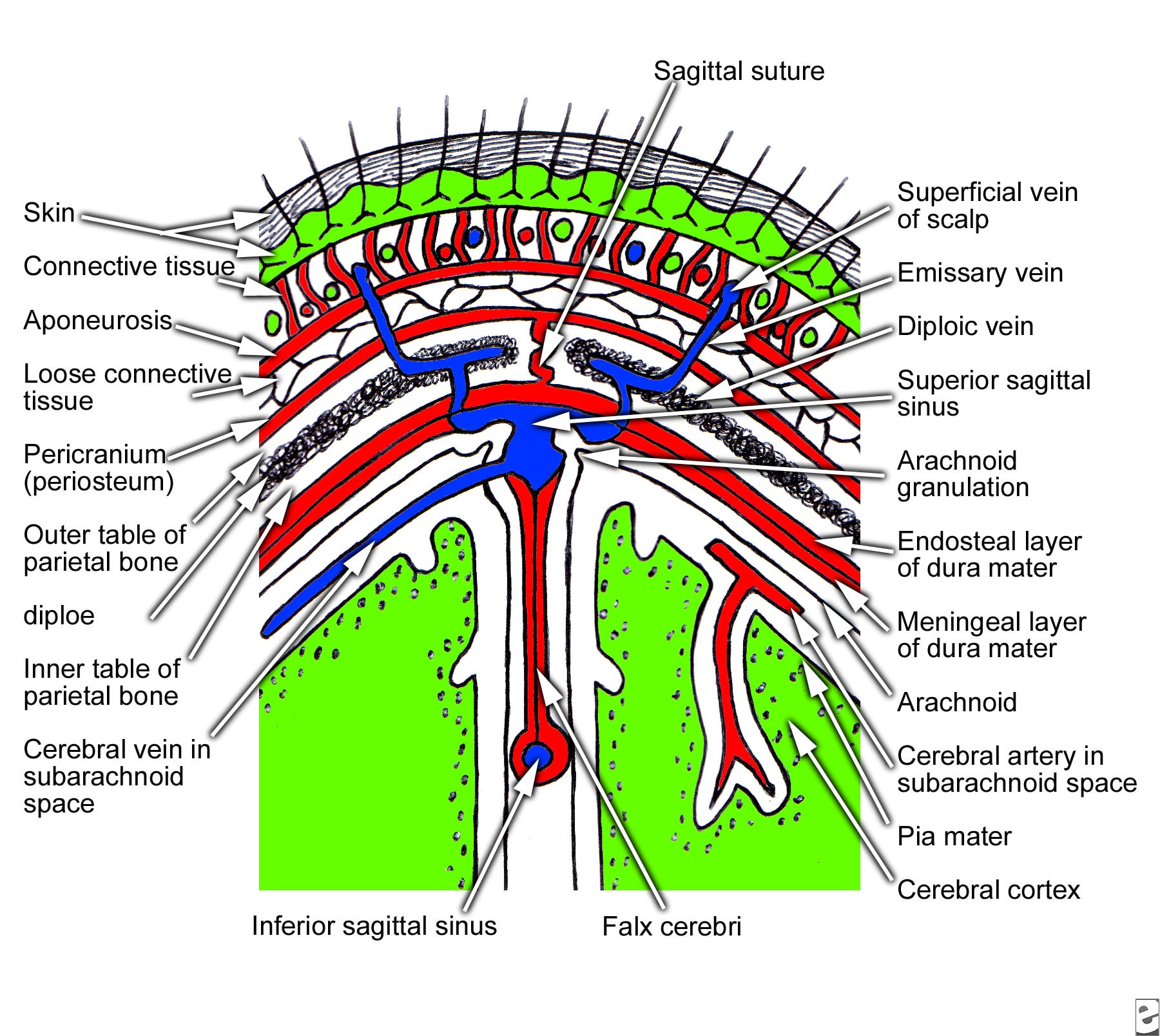 hight resolution of coronal section of scalp that shows layers of the scalp from snell rs clinical anatomy for medical students 5th ed