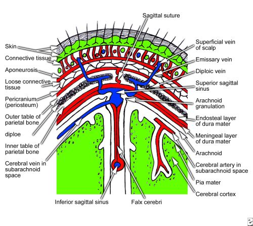 small resolution of coronal section of scalp that shows layers of the scalp from snell rs clinical anatomy for medical students 5th ed