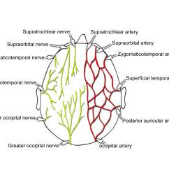 sensory innervation and arterial supply of the scalp from snell rs clinical anatomy for medical students 5th ed  [ 1800 x 1488 Pixel ]