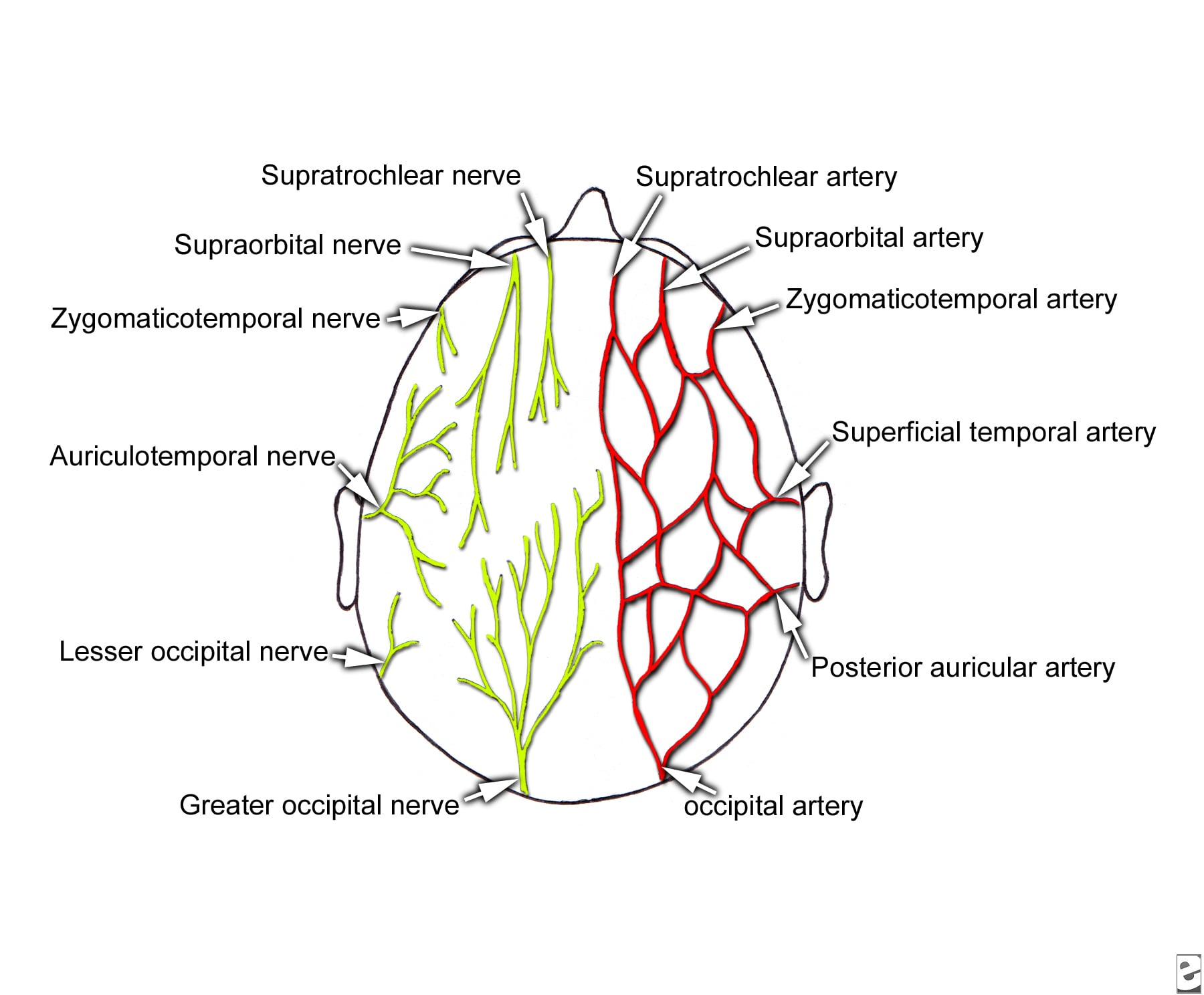 hight resolution of sensory innervation and arterial supply of the scalp from snell rs clinical anatomy for medical students 5th ed