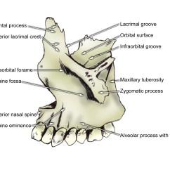 Human Mandible Diagram Directv Swm Splitter Wiring Oral And Maxillo Facial Surgery Bone Anatomy