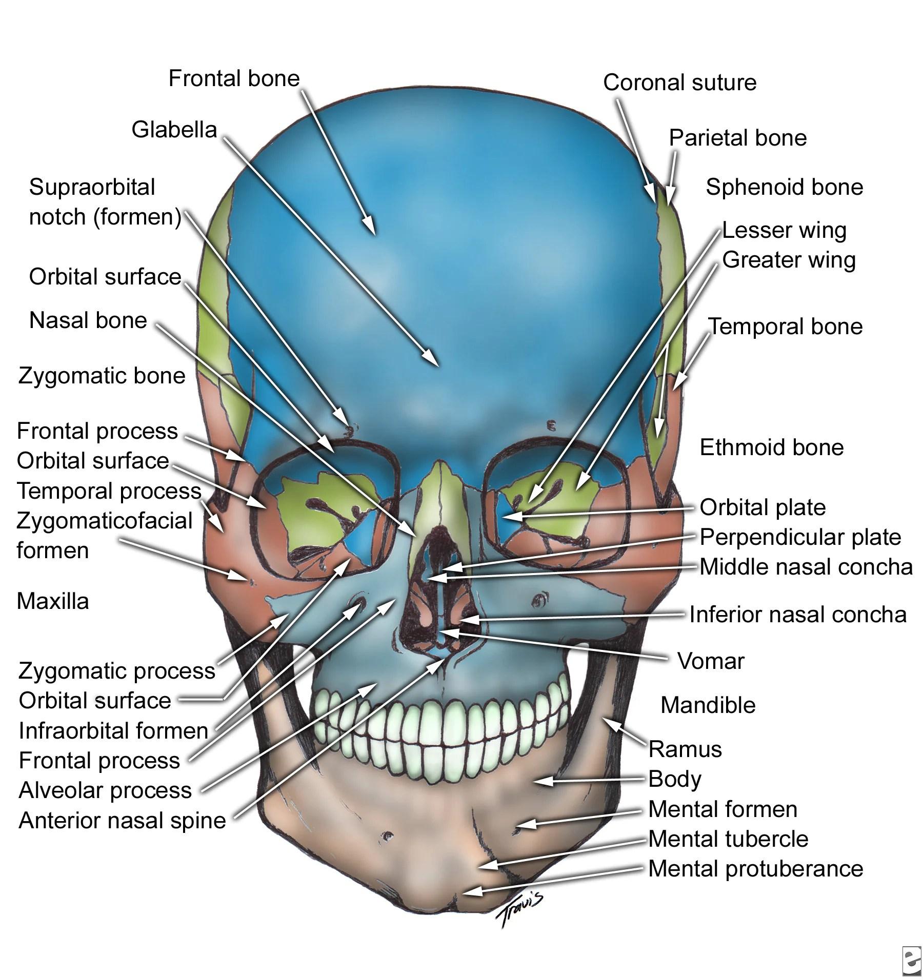 Oral Amp Maxillo Facial Surgery Facial Bone Anatomy