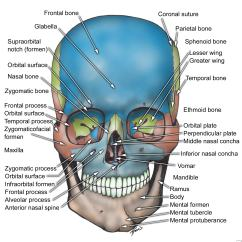 Face Bone Diagram Honda Accord Ecu Wiring Oral And Maxillo Facial Surgery Anatomy