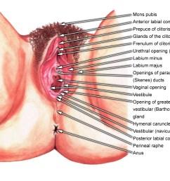 diagram of vagina [ 1800 x 1448 Pixel ]